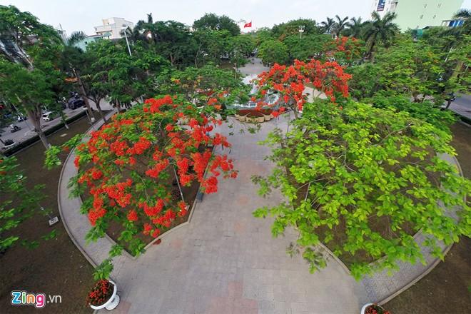 Hoa phượng đỏ Hải Phòng